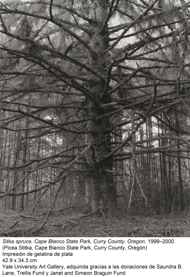 Sitka spruce, Cape Blanco State Park, Curry County, 1999-2000. Robert Adams
